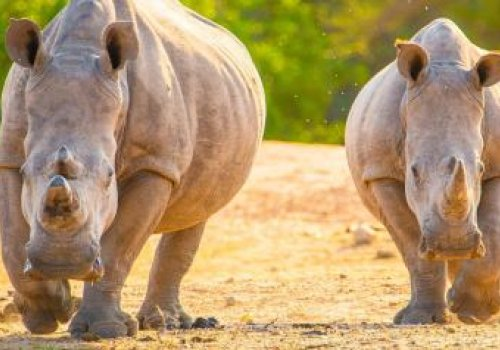 Project Aims To Airlift 80 Rhinos From South Africa To Australia