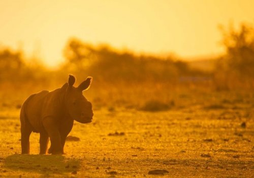 Australian Rhino Project moving rhinoceros from Africa to protect against poaching