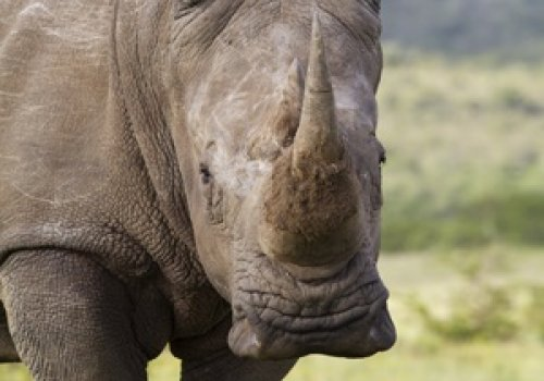 Fight against rhino poaching goes high-tech