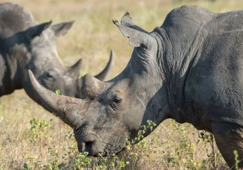 Australia's pivotal role in saving the endangered white rhino